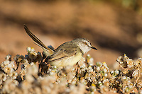Black Chested Prinia, Kgalagadi Transfrontier Park, Northern Cape, South Africa