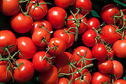 rote Strauch-Tomaten, Hessen, Deutschland | red tomatoes, Hesse, Germany