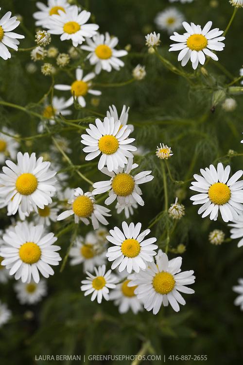 White and yellow daisy-like flowers and ferny foliage of Chamomile (Anthemis nobilis).