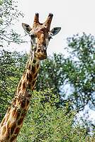 Male South African giraffe, Nhoveni Park.<br />