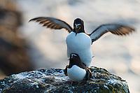 22.05.2008.Razorbill (Alca torda), mating.Langanes peninsula, Iceland