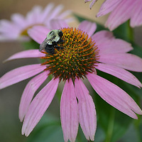 Bumble Bee Collecting Pollen from an Echinacea Blossom