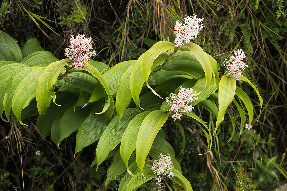 The long stalks of Maianthemum gigas showing its white flowers and purple stems. Irazu Volcano, Costa Rica. Photo by Eduardo Libby.