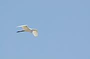 Great Egret (Casmerodius albus egretta) gliding while approximate to land. Pacheca Island, Las Perlas Archipelago, Panama, Central America.