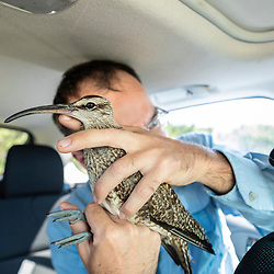 Manomet's Alan Kneidel outfits a whimbrel, Numenius phaeopus, with a solar powered tracking device in Wellfleet, Massachuisetts.