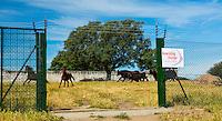 HORSE - CABALLO  (Equus ferus caballus), COWS OR CATTLE (Bos taurus o Bos primigenius taurus), Campanarios de Azaba Biological Reserve, Salamanca, Castilla y Leon, Spain, Europe