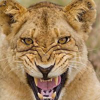 South Africa, Sabi Sands Game Reserve, Young male Lion (Panthera leo) displays fangs while snarling in tall grass