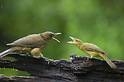 Clay-colored Thrush<br /> Turdus grayi<br /> Fighting with Summer Tanager (Piranga rubra)<br /> Northern Costa Rica, Central America