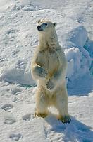 A polar bear, Ursus maritimus standing on the sea ice near Bjornsundet on Spitsbergen in the Svalbard archipelago, Norway.
