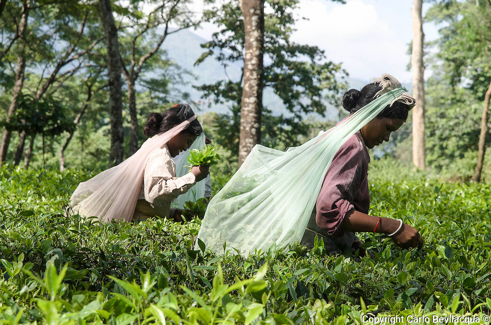 Tea Garden Weat Bengal India -  Women and Tea