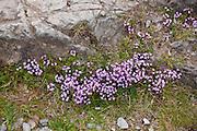 Wildflowers near Watendlath in Lake District National Park, Cumbria, UK