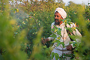 Manga spraying his organic cotton with their homemade organic pesticide on their farm in  Sendhwa, India.<br /> <br /> Manga and his wife, Sheela, have recently converted to organic cotton farming with help from the Aga Khan Foundation who are working in partnership with the C&A Foundation.