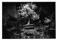 """Momiji"" bonsai, Hatagaya, Tokyo, Japan."