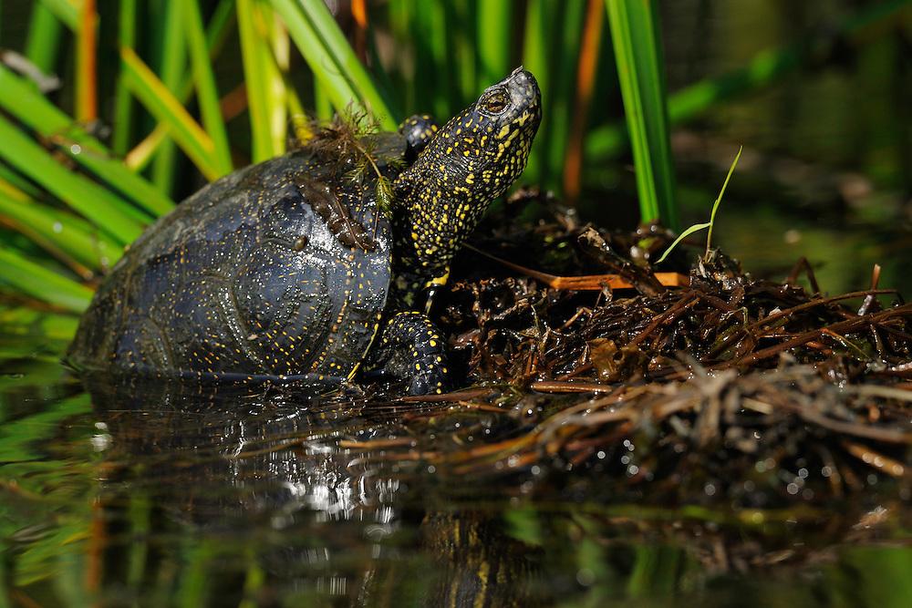 Pond turtle, Pond terrapin, Emys orbicularis, Danube delta rewilding area, Romania