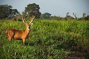Marsh Deer (Blastocerus dichotomus)<br /> Northern Pantanal<br /> Mato Grosso<br /> Brazil