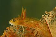 Northern Crested Newt, male (Triturus cristatus) Larvae | Ca. 2-3 Wochen nach der Eiablage schlüpfen aus den Eiern der Kammmolche (Triturus cristatus) etwa 1 cm lange Larven. Die Larven wachsen während ihrer etwa viermonatigen Entwicklungszeit bis zu einer Größe von acht Zentimetern heran. Typischerweise entstehen bei Molchen - im Genensatz zu den Froschlurchen - zunächst die vorderen Gliedmaßen, erst später die hinteren. Beim Übergang zum adulten Tier bilden sich die auffälligen äußeren Kiemen zurück.