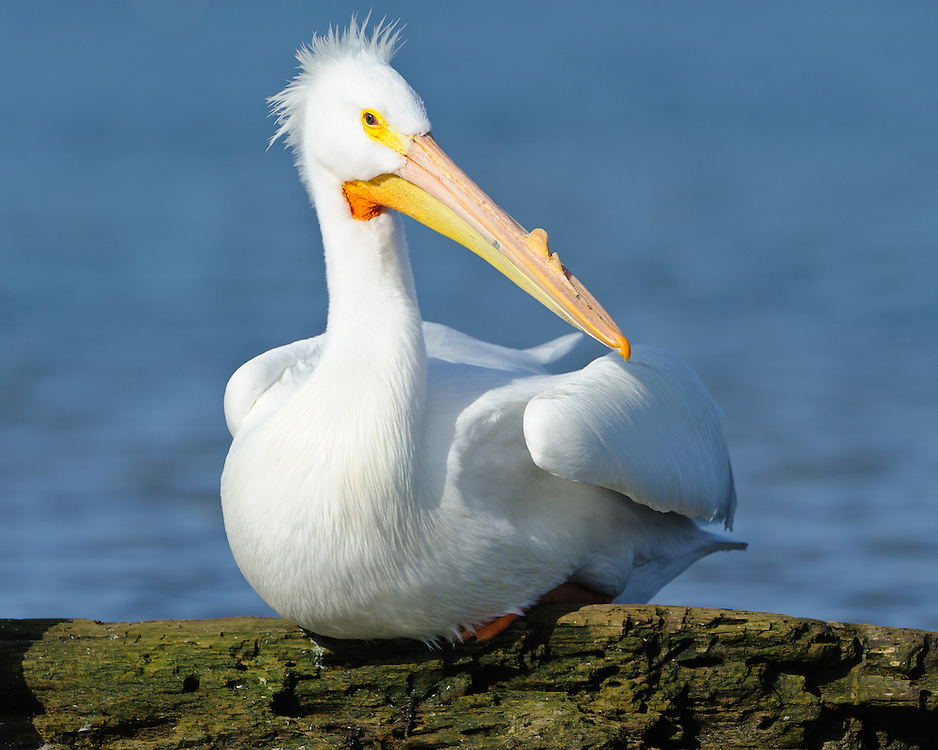 An American White Pelican rests on drift wood after fishing on White Rock Lake, Dallas, Texas