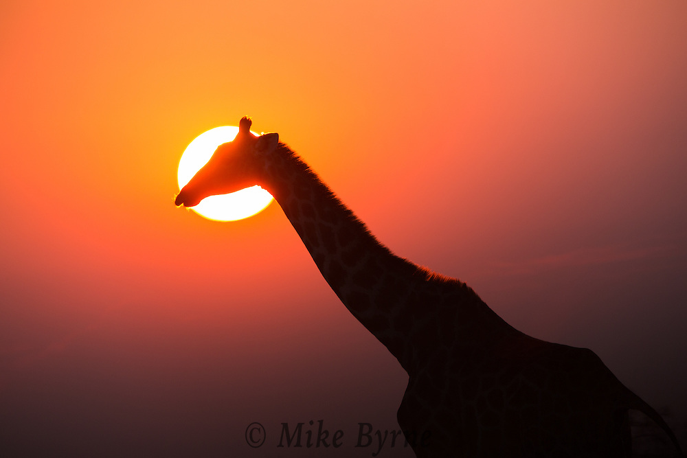 Giraffe at sunrise in Etosha Namibia