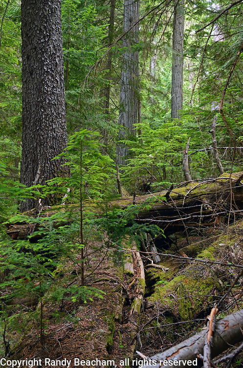 Western hemlock seedlings growing out of a nurse log at French Creek Cedars. Kootenai National Forest in the Purcell Mountains, northwest Montana.