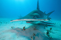 Great Hammerhead up close<br /> <br /> Shot in Bahamas