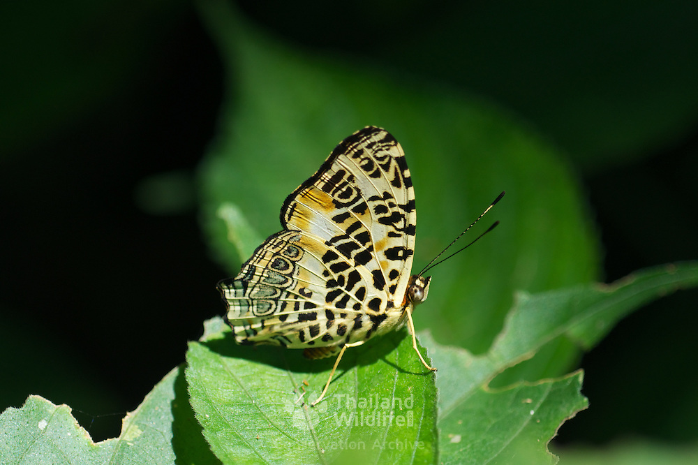 The Himalayan Jester (Symbrenthia hypselis sinis) in Kaeng Krachan National Park, Thailand.