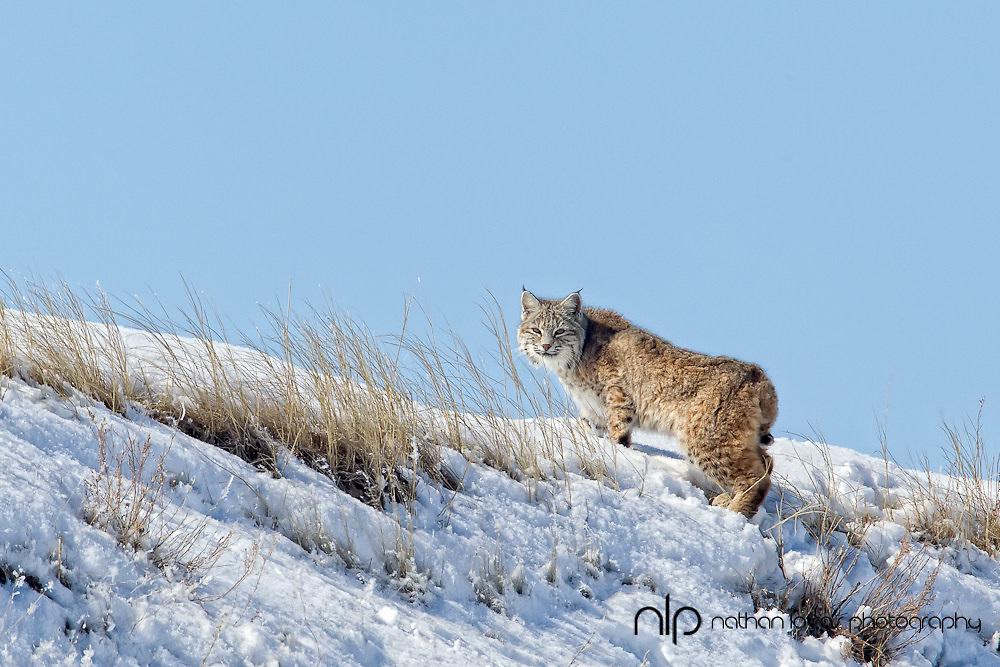 Bobcat on ridge in snow;  South Dakota, in wild.