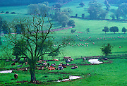 Cattle on Cotswold Farmland in Rural England, UK