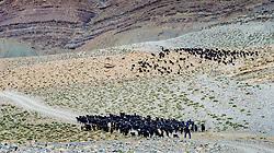 A herd of goats graze the hills beside the piste from Tamtetoucht to Msemrir, Morocco<br /> <br /> (c) Andrew Wilson | Edinburgh Elite media