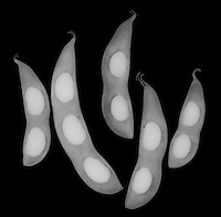 X-ray image of five soybean fruit pods (white on black) by Jim Wehtje, specialist in x-ray art and design images.
