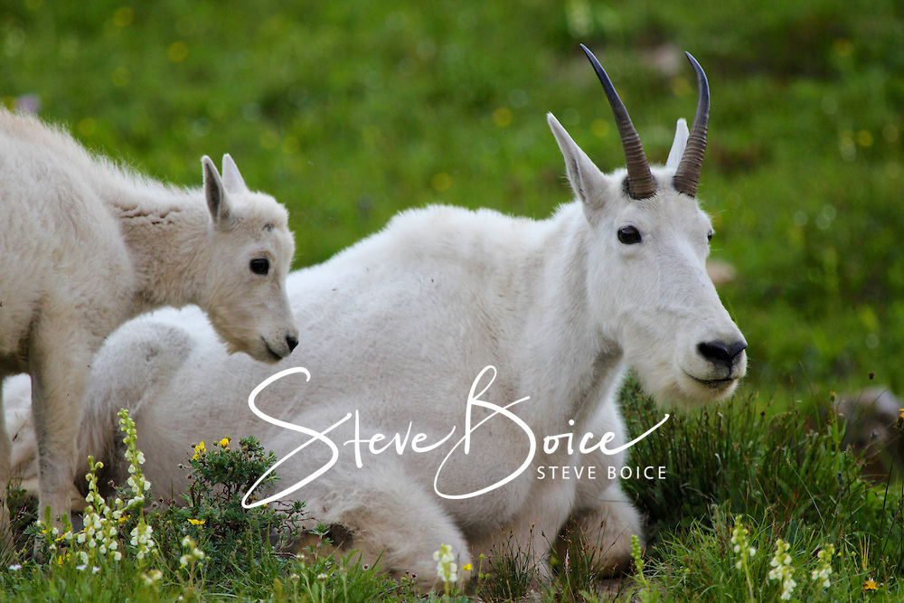 Mountain goat and baby kid closeup in green alpine meadow in Glacier National Park, Montana