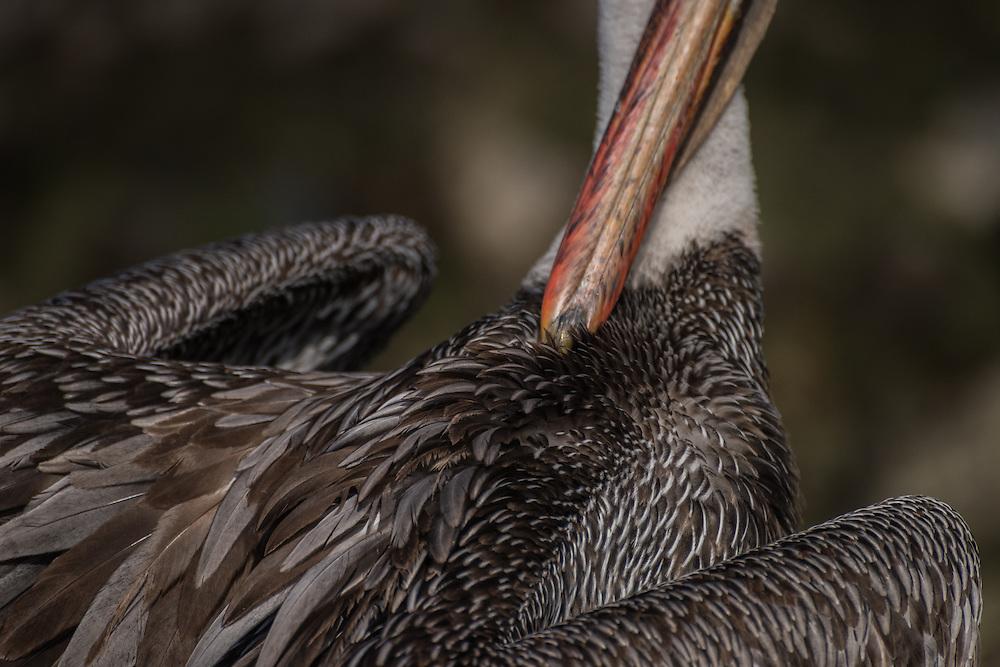 Detail of a pelican washing itsself, Santa Cruz, Galapagos, Ecuador.