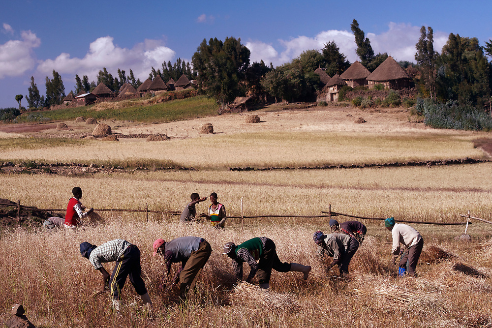 Harvesting and stack oats on the farm of Melaku Yifku in the Seriti Village of the Chacha district north of Addis Ababa, Ethiopia.<br /> <br /> Workers are cutting the oats by hand with sickles, and pile them behind them as they move up the field, singing as they go. Then the bundles are hauled to the stacks where a man on top arranges them so that the grain heads are to the inside of the stack so they will dry and be protected from rain before being threshed. The man on the top of the stack is Nigussu Kissaye.<br /> <br /> Horses are grazing on the new cropped oat ground, foraging for leftover grain and straw.<br /> <br /> In the distant valley are other villages in their typical hilltop positions. <br /> <br /> Contact: Genene Gezu<br /> Program Coordinator<br /> Ethio-Organic Seed Action (EOSA)<br /> Tel: +251 11 550 22 88<br /> Mobile: +251 91 1 79 56 22<br /> genenegezu@yahoo.com<br /> shigenene@gmail.com<br /> PO Box 5512<br /> Addis Aababa, Ethiopia