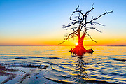 Cypress tree at sunset on the Currituck sound, outer Banks, NC.