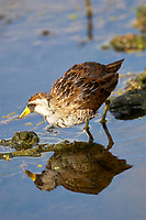 Sora (Porzana carolina),  Wakodahatchee Wetlands, Del   Photo: Peter Llewellyn