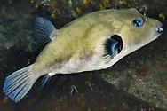 Immaculate Pufferfish- Poisson ballon à lignes brunes (Arothron immaculatus), South Africa.