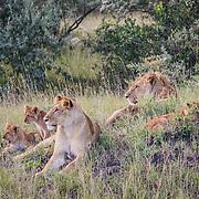 Lion family in grass in the Masai Mara area of Kenya.