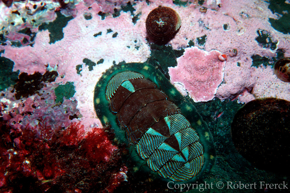 UNDERWATER MARINE LIFE EAST PACIFIC: Northeast CHITONS: Chiton Amphineura