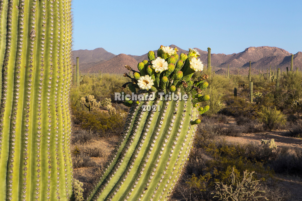 Saguaro flowers with vista