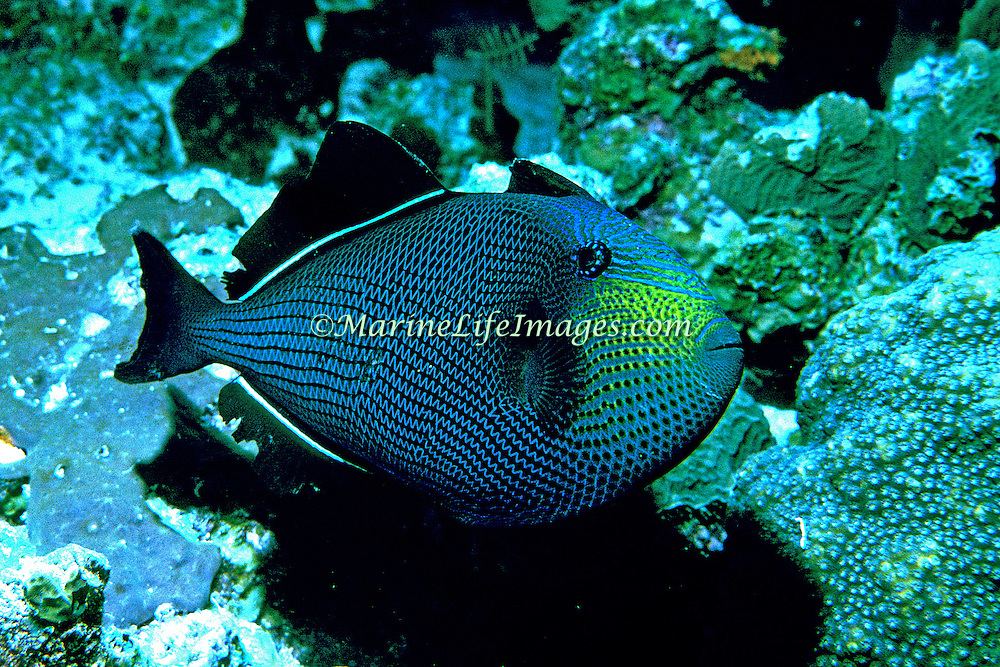 Black Durgon inhabit outer reefs, often in small aggregations in Tropical West Atlantic; picture taken Grand Cayman.