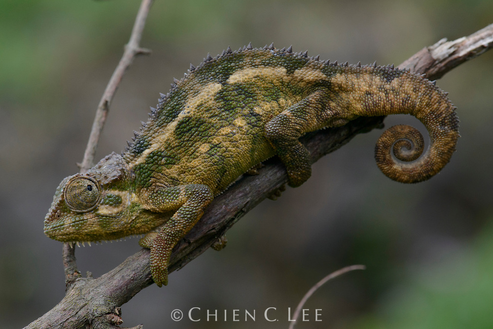 Rough Chameleon (Trioceros rudis). Ruhengeri, Rwanda.
