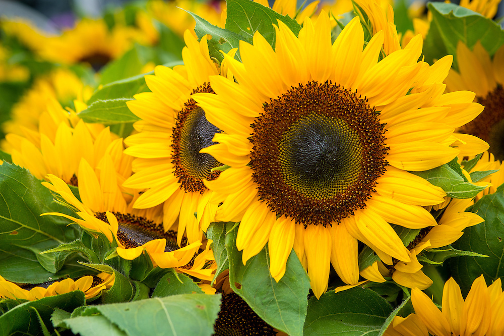 Sunflowers for sale at a Farmers Market