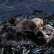 Sea Otter, (Enhydra lutris) Mother and baby sleeping in seaweed covered rocks. Aleutian Islands. Alaska.