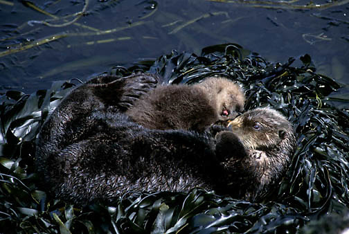 Sea Otter, (Enhydra lutris) Mother and baby sleeping in seaweed covered rocks. Aleutian Islands. Alaska.