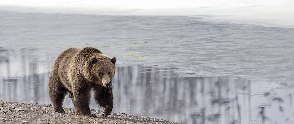 During late spring, the frozen shoreline of Yellowstone Lake offers little in the form of nourishment for the area's grizzly bears. At this time, bears will travel between thermal areas where they feed on sedge and other early grasses.