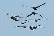 Flock of brown Pelicans (Pelecanus occidentalis carolinensis) on fly over Pacheca Island shore. Las Perlas Archipelago, Panama province, Panama, Central America.