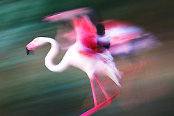 The vivid pink color of wings of the greater flamingo ( Phoenicopterus ruber ) in flight and landing, motion blur, Le Camargue, Provence, France