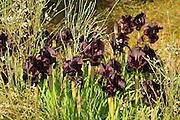 Coastal Iris or Purple Iris (Iris atropurpurea) This Iris is endemic to Israel Photogrpahed at the The Coastal Iris Nature reserve, Natanya, Israel in March