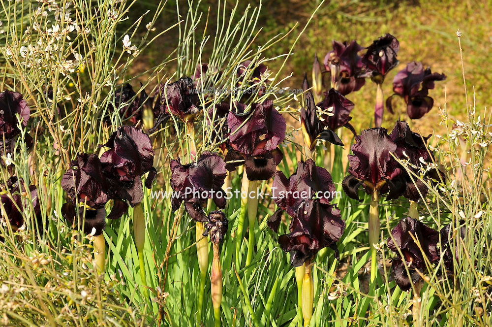Coastal Iris or Purple Iris (Iris atropurpurea) This Iris is endemic to Israel Photogrpahed at the The Coastal Iris Nature reserve, Natanya, Israel in March
