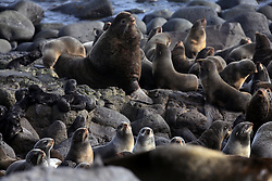 USA ALASKA ST PAUL ISLAND 9JUL12 - A male Northern Fur Seal (Callrhinus ursinus) and his harem breed at the Reef Point rookery on the island of St. Paul in the Bering Sea, Alaska.....Photo by Jiri Rezac / Greenpeace....© Jiri Rezac / Greenpeace