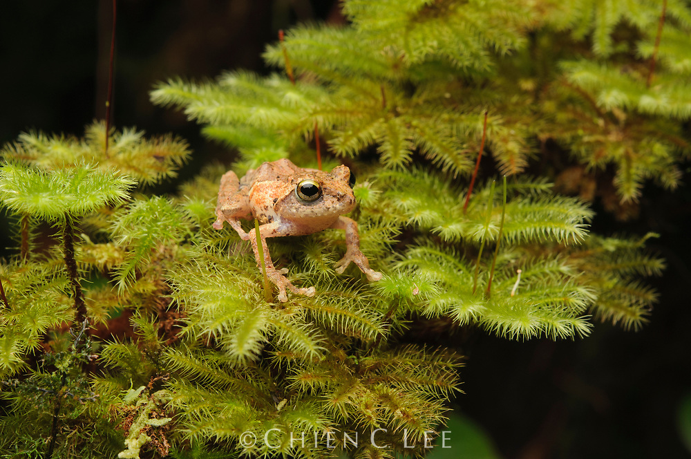 A tiny bush frog (Philautus sp.) from montane mossy forest of northern Sarawak.